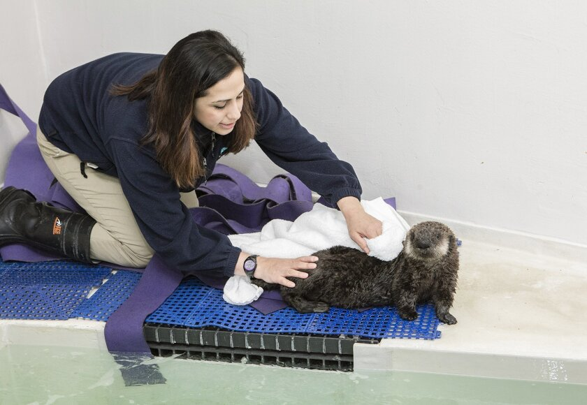 In this Jan. 27, 2016 photo provided by the John G. Shedd Aquarium, Christy Sterling, assistant supervisor of penguins and sea otters at the aquarium in Chicago, helps an orphaned southern sea otter pup dry off after swimming in the waters of the Regenstein Sea Otter Nursery in Chicago. The female