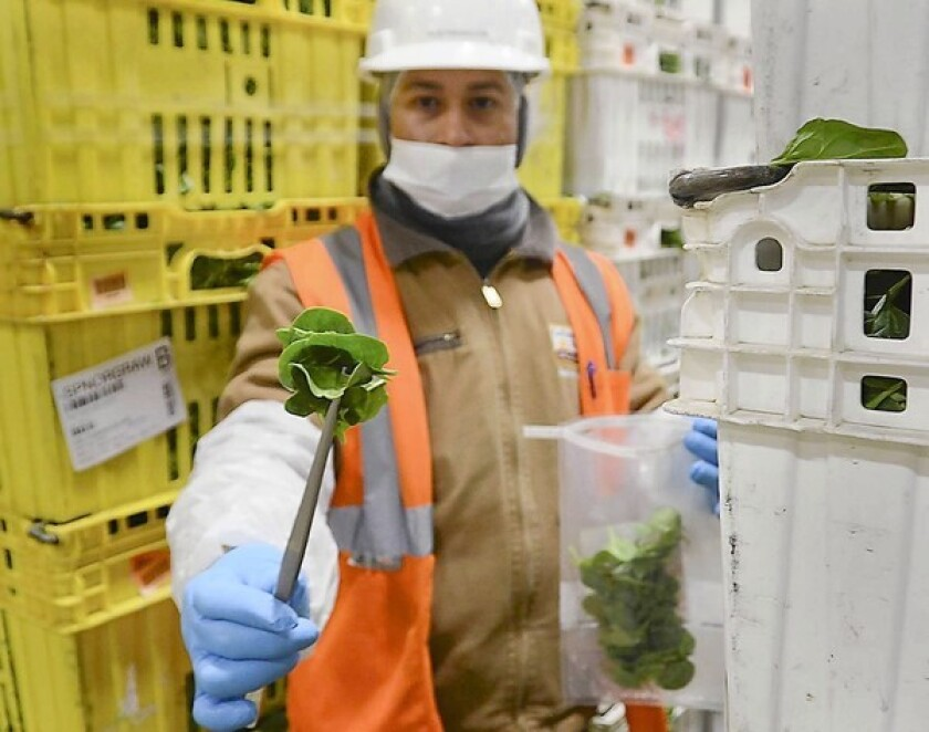 Noe Magallon grabs a bunch of spinach for onsite contamination testing at Earthbound Farm in San Juan Bautista, Calif.