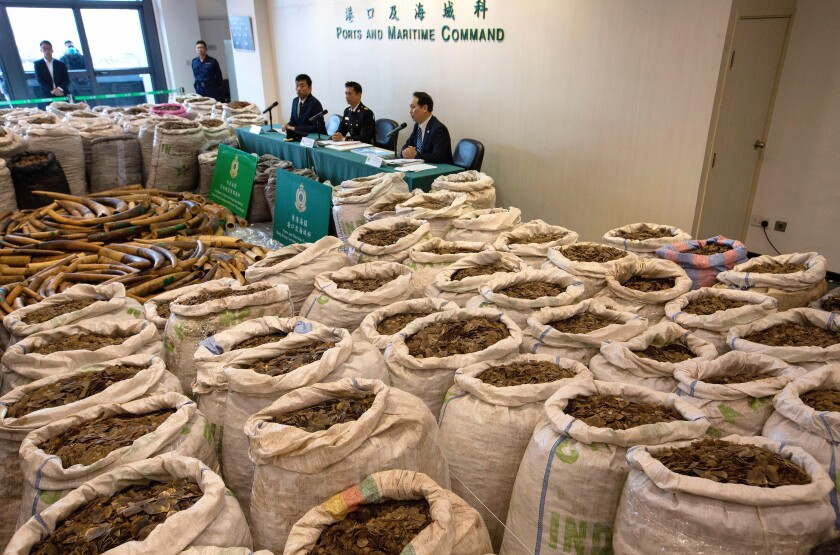 More than 8 metric tons of pangolin scales are displayed in February at a Hong Kong Customs news briefing in Kowloon.