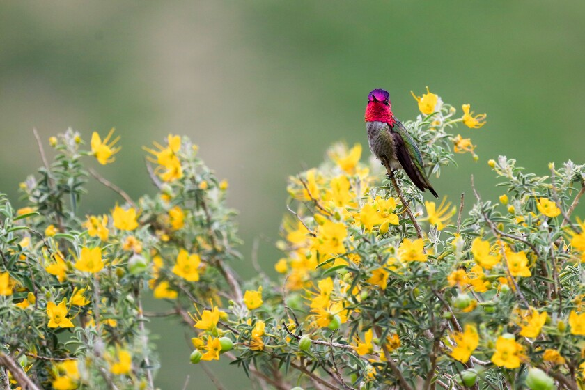 A red-headed   hummingbird sits on a yellow-flowered shrub.
