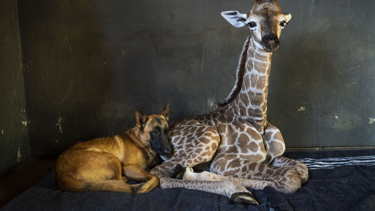 Abandoned baby giraffe befriended by dog in South Africa dies
