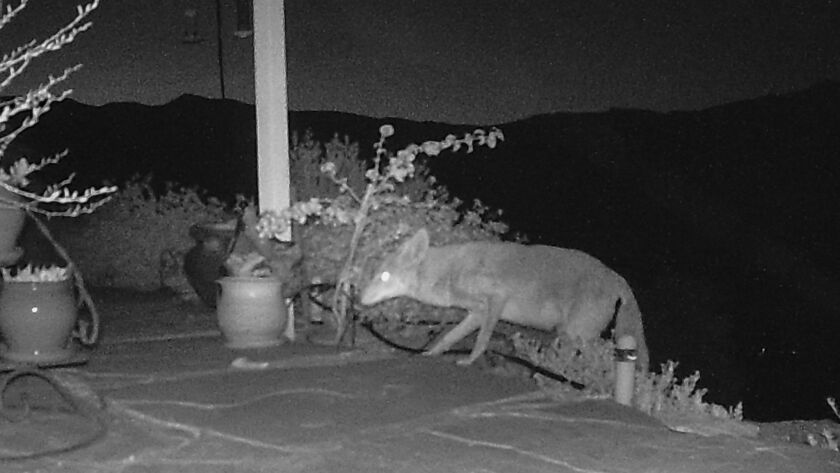 The camera catches a coyote walking onto the patio.