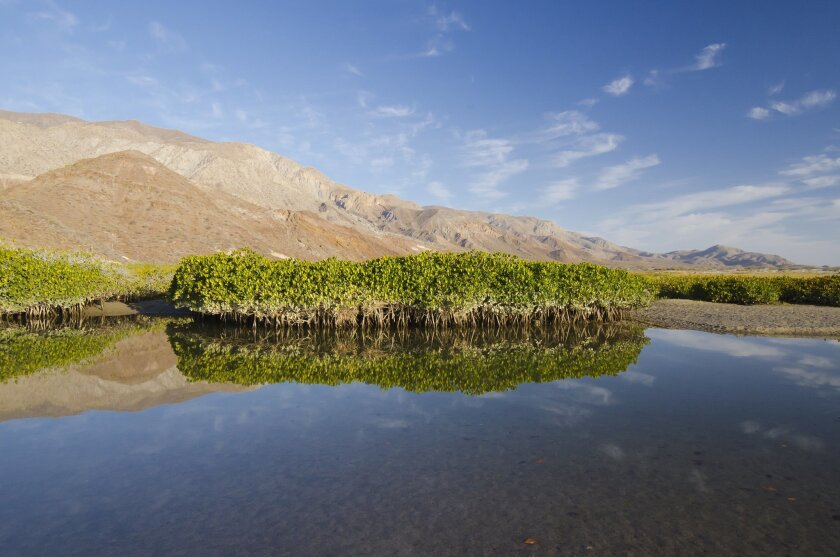 Small red mangroves trees along the dry coastal areas of the Baja California peninsula in Mexico. / photo by Octavio Aburto * Scripps Institution of Oceanography