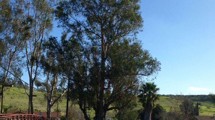 d9a25c05e1009 Eucalyptus trees: Love 'em or hate 'em - Pomerado News