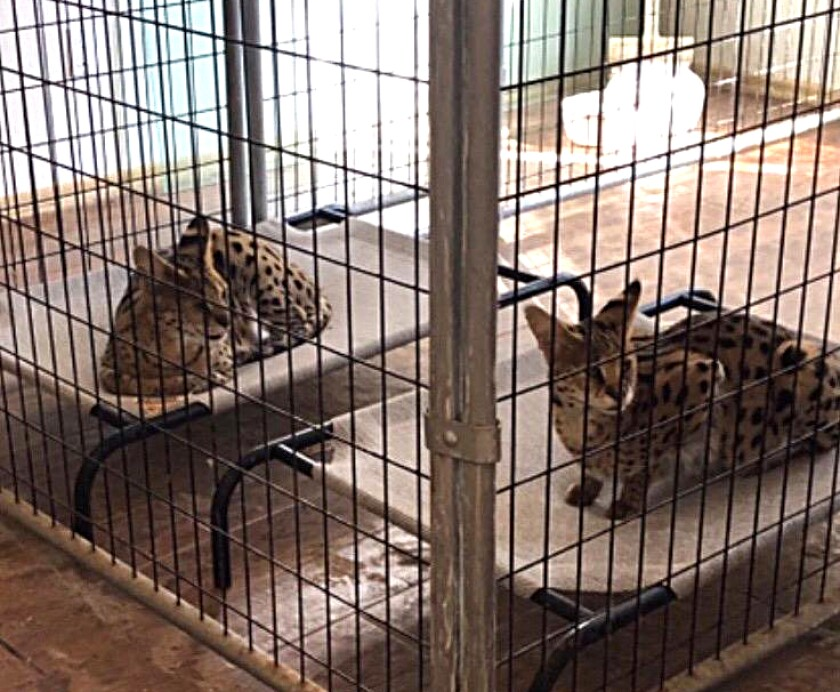 Two rescued servals have been relocated to Lions, Tigers and Bears animal sanctuary in Alpine.