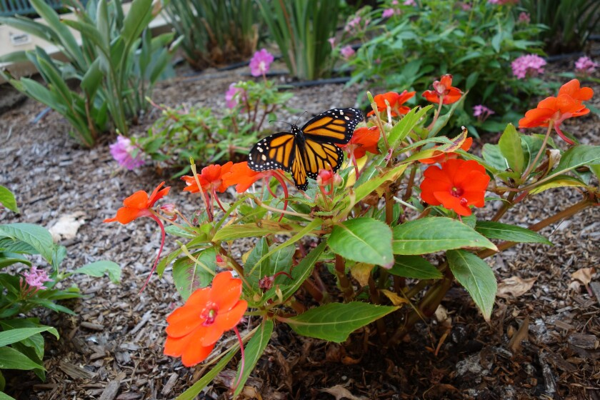 Seniors at White Sands La Jolla have been boosting the monarch butterfly population, among other environmental projects.