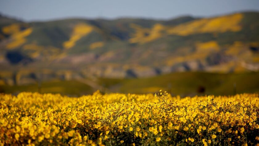 San Luis Obispo County, CA April 9, 2017: Wildflowers have erupted this spring on the grassy plain