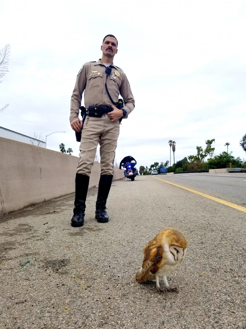 California Highway Patrol Officer Sean Kelly stands behind an injured owl in the center divider of the 101 Freeway in Santa Barbara.