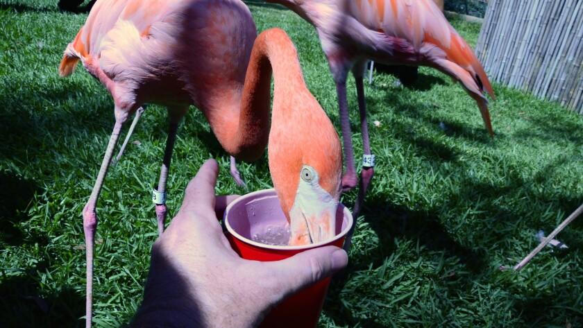 Flamingo, San Diego Zoo.