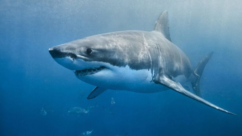 Great white sharks are commonly found off Southern California
