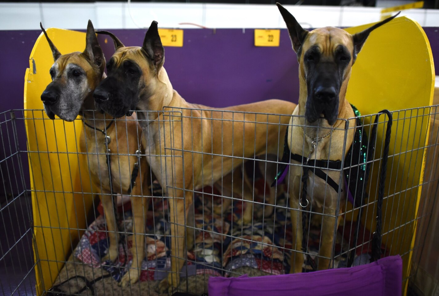 While this breed is very friendly, it does require more regular daily walks than most dogs. Great Danes also tend to bark more than the average canine, don't tolerate being alone well, and shed and drool a lot (not ideal if cleanliness is truly next to godliness for you).