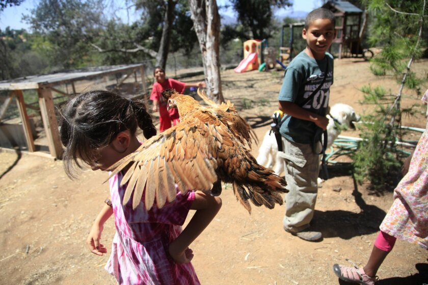 Ilona Zuelsdorf, 6, attempts to balance a chicken on her shoulder as her brothers and sisters watch. Ilona and her 12 brothers and sisters (many of them adopted) live with their parents, Richard and Ella Zuelsdorf, in an 11-bedroom home on 12 acres in Escondido.
