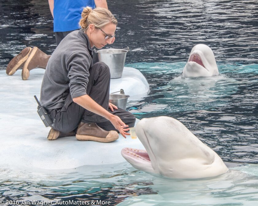 Feeding a beluga whale at Wild Arctic