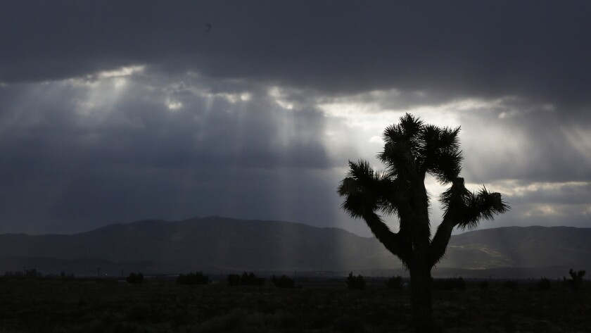 A Joshua tree; it and others face significant reductions if global warming continues at its current pace