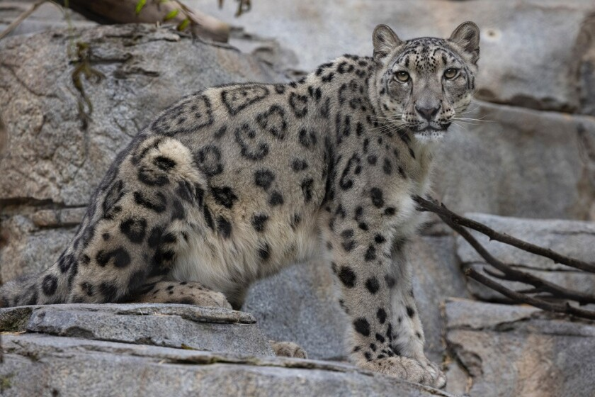 Naphisa, a 3-year-old female snow leopard at the San Diego Zoo.