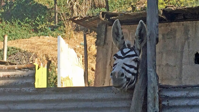 Photo of the Day: Finding 'zonkeys' in Tijuana