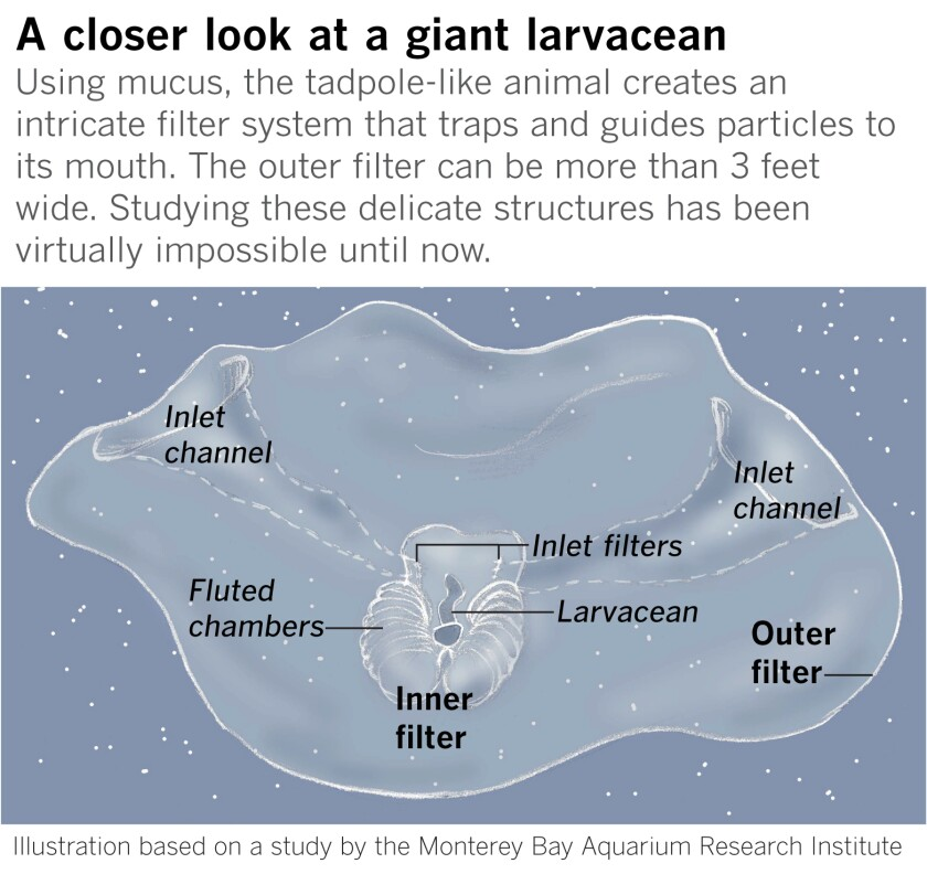 Giant larvaceans, or Bathochordaeus.