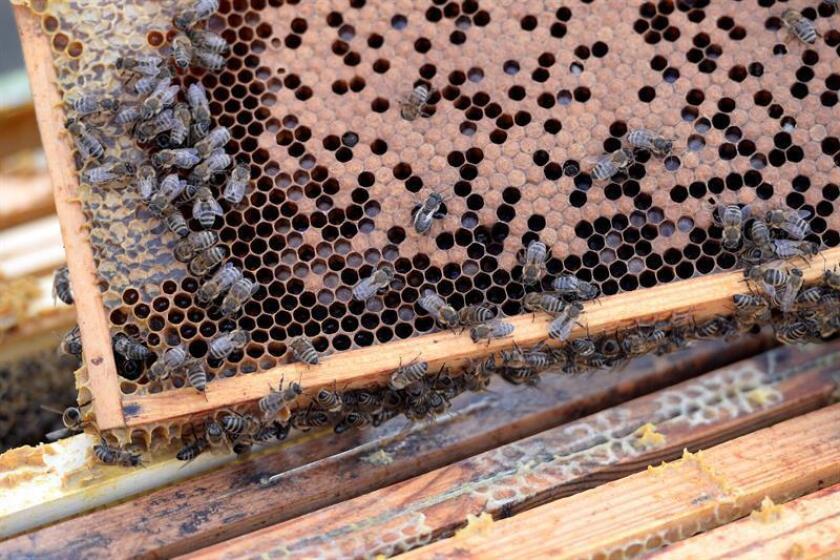 Tugrul Giray, profesor turco de Biología de la Universidad de Puerto Rico (UPR), recinto de Río Piedras, ofrecerá el día 18 en Loíza una conferencia sobre la producción de miel y la conservación de las abejas en la isla, informaron hoy los organizadores en un comunicado de prensa. EFE/ARCHIVO