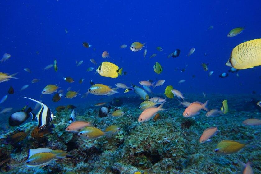 Fish swim in a Hawaiian reef