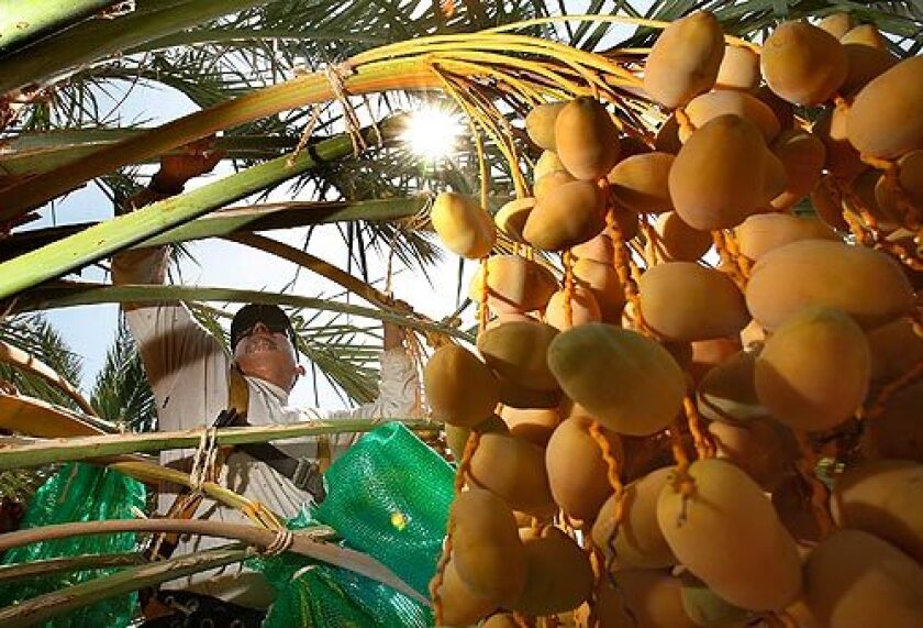 Gabriele Olivas puts protective bags around dates at SeaView Ranch in Coachella. Harvesting starts in September, but this year Ramadan starts earlier than the annual harvest. More photos >>>