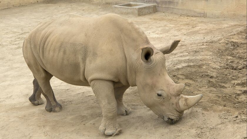 Victoria, a southern white rhino, has been impregnated via artificial insemination with sperm from a northern white rhino, a species that is all but extinct.