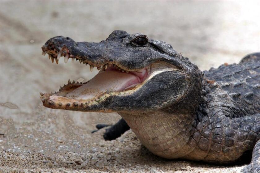 Una mujer de la costa oeste de Florida recibió como regalo de Navidad la buena noticia de que podrá seguir conviviendo en su hogar con su cocodrilo Rambo, de unos 6 pies de extensión, pero con ciertas restricciones. EFE/ARCHIVO