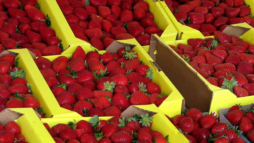 Subjects of a bitter custody battle: California strawberries on sale at a roadside stand in Watsonville.