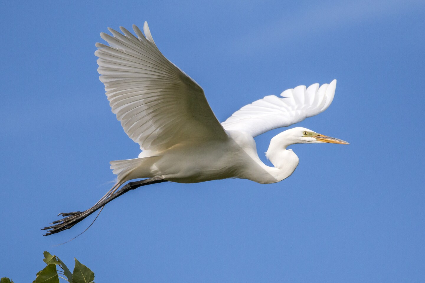 A Great egret takes flight at the Sacramento Wildlife Refuge. Photo by Julie Graulich.