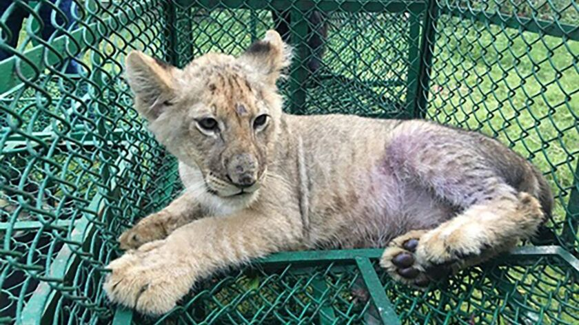 In this photo provided by Interpol on Wednesday July 10, 2019, a lion cub (Panthera Leo), detected i