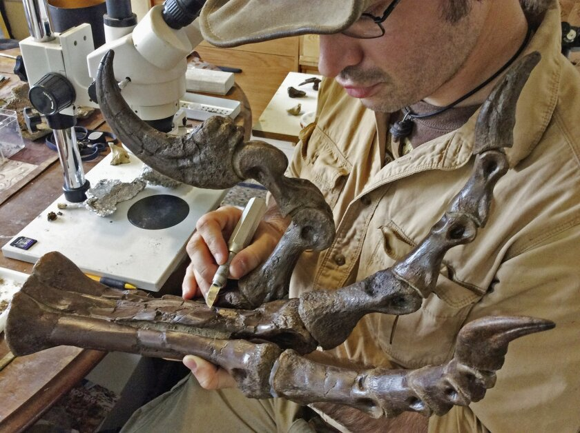 In this Oct. 29, 2015 photo provided by Robert DePalma, DePalma, curator of vertebrate paleontology at the Palm Beach Museum of Natural History, examines the fierce foot claw of a newly discovered species of raptor called Dakotaraptor in West Palm Beach, Fla. The fossils were unearthed from the Hel