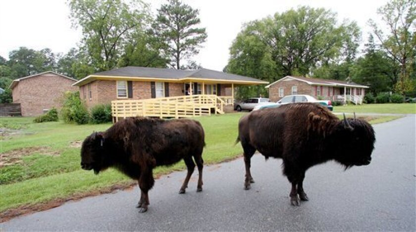 Buffalo roam the streets of flooded historic downtown Windsor, N.C., Sunday, Oct. 3, 2010 after they where set free from a petting zoo. (AP Photo/Jim R. Bounds)