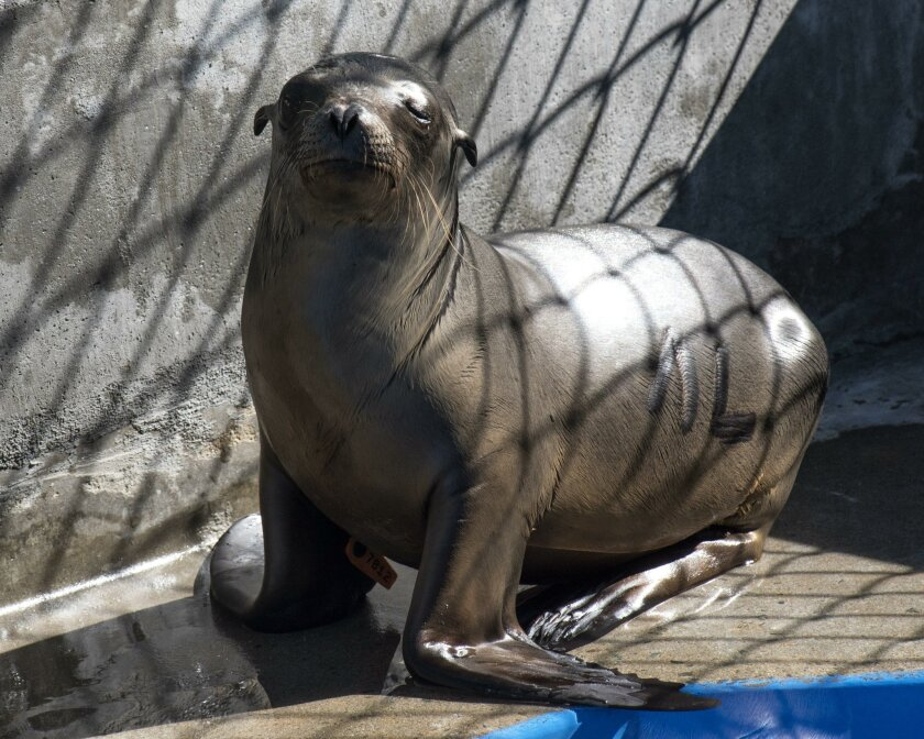 Marina recovering at SeaWorld Animal Rescue Center