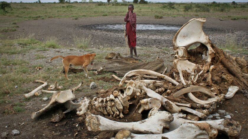 In this 2013 file photo, a Maasai boy and his dog stand near the skeleton of an elephant killed by p