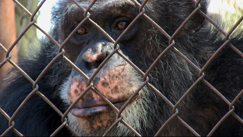 "A chimpanzee named Merlin in the documentary ""Unlocking the Cage."""