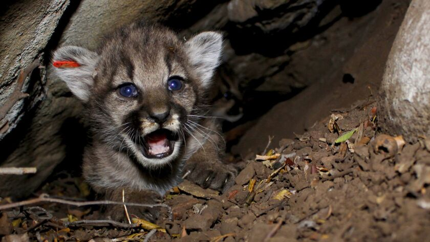 A mountain lion kitten identified as P-68 in the Simi Hills.
