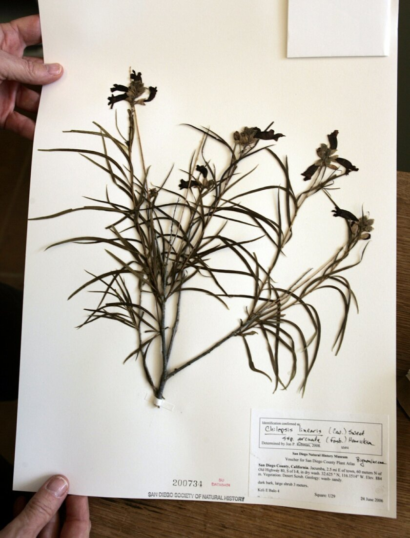 Gibson, who coordinates the categorizing of plant species at the museum's herbarium, held a sample of a chilopsis linearis.