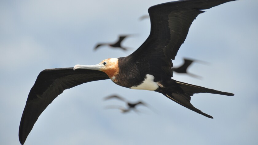 Frigate birds can fly without landing for up to two months at a time
