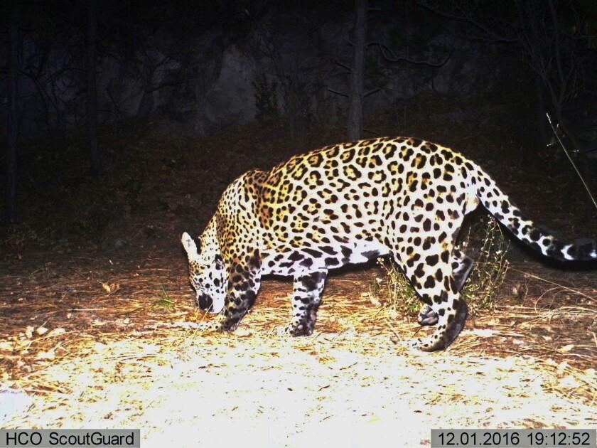 Un jaguar en el sur de Arizona.