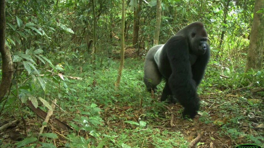 An endangered silverback Cross River gorilla, whose habitat would be threatened with destruction if construction of a proposed superhighway in Nigeria's southeastern region is allowed to proceed, according to conservationists.