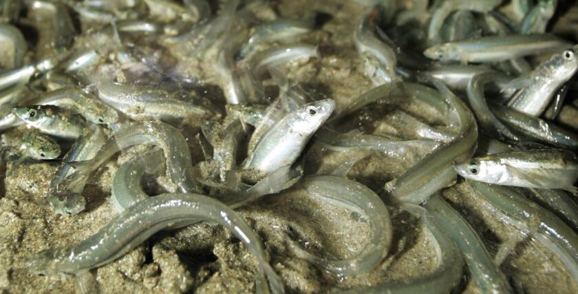 A file photo shows grunion spawning in Long Beach during a run.