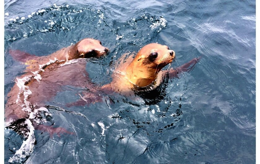 Sea lion pups released to the wild last week bonded as they returned to the open ocean. Photo courtesy of Helen Woodward Animal Center.