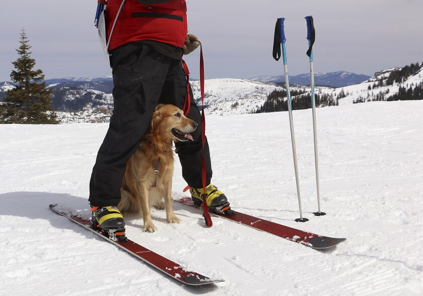 Ski patrol dog Buster, waits between the legs of ski patroller Andrew Pinkham at Sugar Bowl Resort in Norden, Calif. on March 17, 2021. Rescue dogs at Lake Tahoe ski resorts receive specialized training to rescue people from avalanches in Nevada and California. They're trained to detect human scents, find buried clothes and rescue people sunk 10 to 12 feet (3 to 3.7 meters) in the snow. (Jason Bean/The Reno Gazette-Journal via AP)