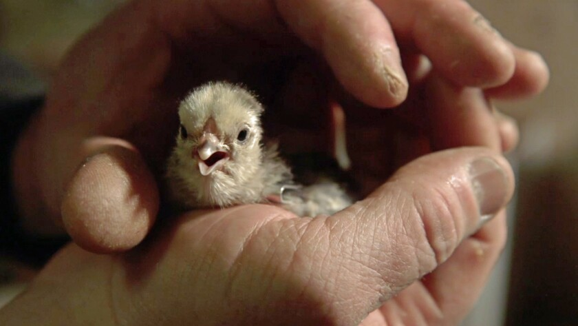 """An image from the documentary """"Chicken People."""""""