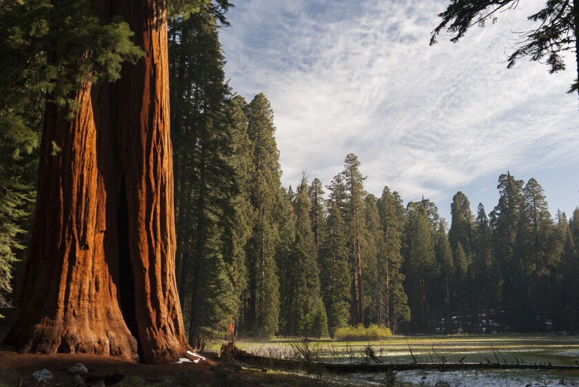 Giant sequoia trees in Sequoia National Park.