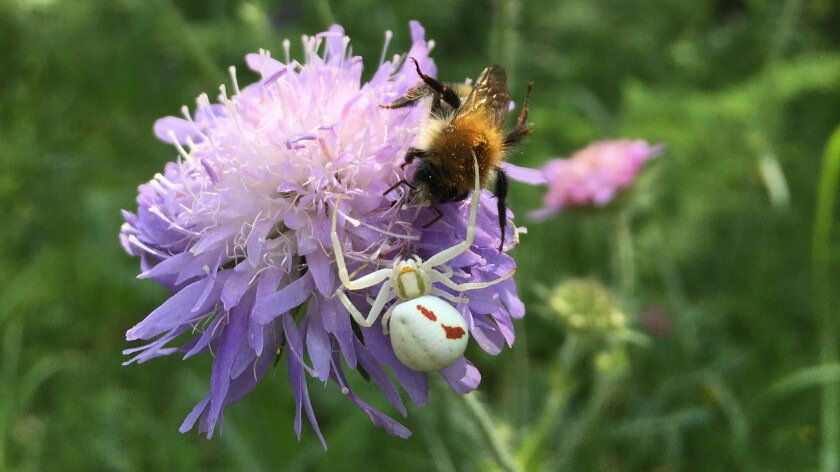 A crab spider stalks a bumblebee as it forages for nectar.