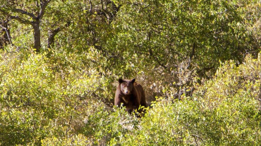 EASTERN OREGON ? Black Bear sighting in Hell's Canyon from a Jet Boat excursion on Snake River.