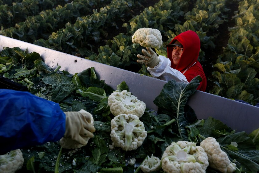 Gerardo Rivera of Mexicali, Mexico, picks cauliflower along with other seasonal agricultural workers holding H-2A visas on a farm in Greenfield, Calif., on March 15.