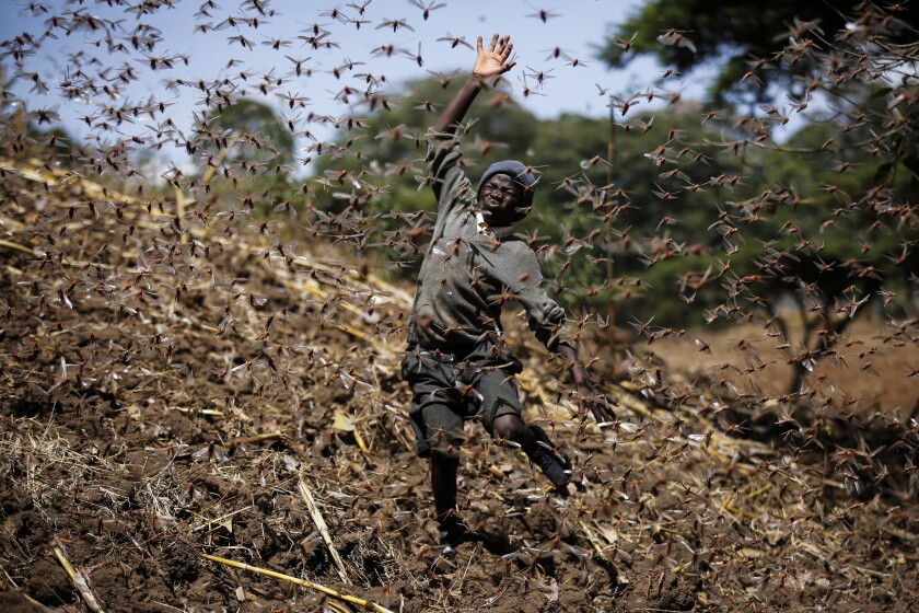 Stephen Mudoga, 12, the son of a farmer, tries to chase away a swarm of locusts on his farm as he returns home from school, at Elburgon, in Nakuru county, Kenya Wednesday, March 17, 2021. It's the beginning of the planting season in Kenya, but delayed rains have brought a small amount of optimism in the fight against the locusts, which pose an unprecedented risk to agriculture-based livelihoods and food security in the already fragile Horn of Africa region, as without rainfall the swarms will not breed. (AP Photo/Brian Inganga)