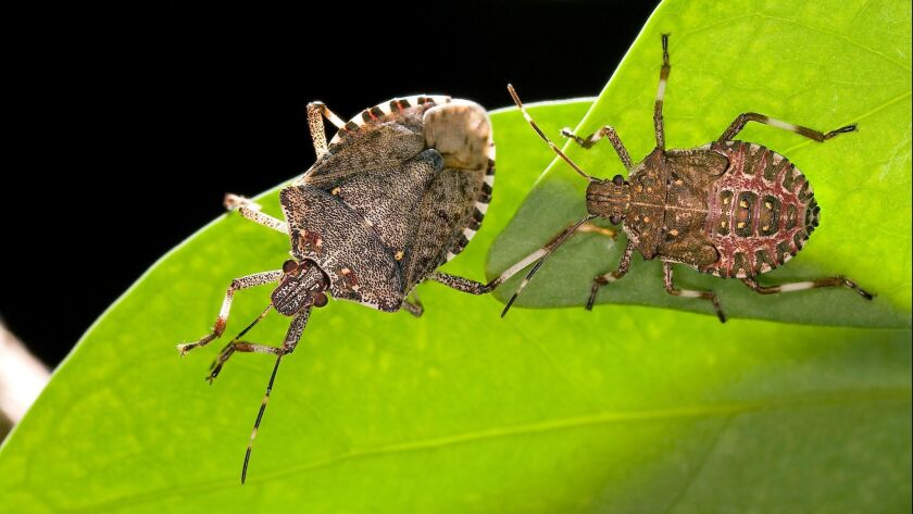 The brown marmorated stink bug (Halyomorpha halys), a winged invader from Asia that is eating crops
