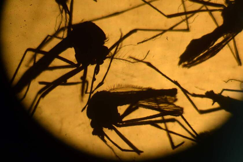 Aedes aegypti mosquitos, which carry the Zika virus, are photographed in a laboratory at the University of El Salvador in San Salvador. Interest in travel insurance has surged because of fear of Zika.